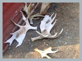 pic_68c_Moose antler sheds collected one day 2016 New Brunswick