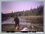 pic_68x_trailcam_july_2014_bull_in_velvet