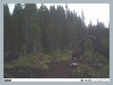 pic_68z_trailcam_august_2014_2_cows_jockey_for_a_spot_as_a_baby_bull_looks_on