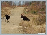 pic_70_big_bull_and_cow_october_2013