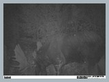 pic_71_trail_cam_pic_of_2013_bullthis_is_the_one_we_got