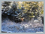 pic_77_bull_in_snow_october_2013
