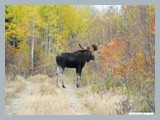 pic_84_bull_moose_october_2012