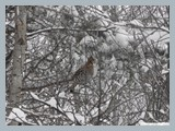 pic_88_ruffed_grouse_snow
