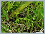 pic_89_woodcock_chick_hiding_in_grass_2012